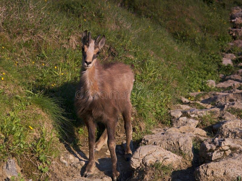 Rupicaprarupicapra som tas över berget Giewont Zakopane Polen arkivbilder