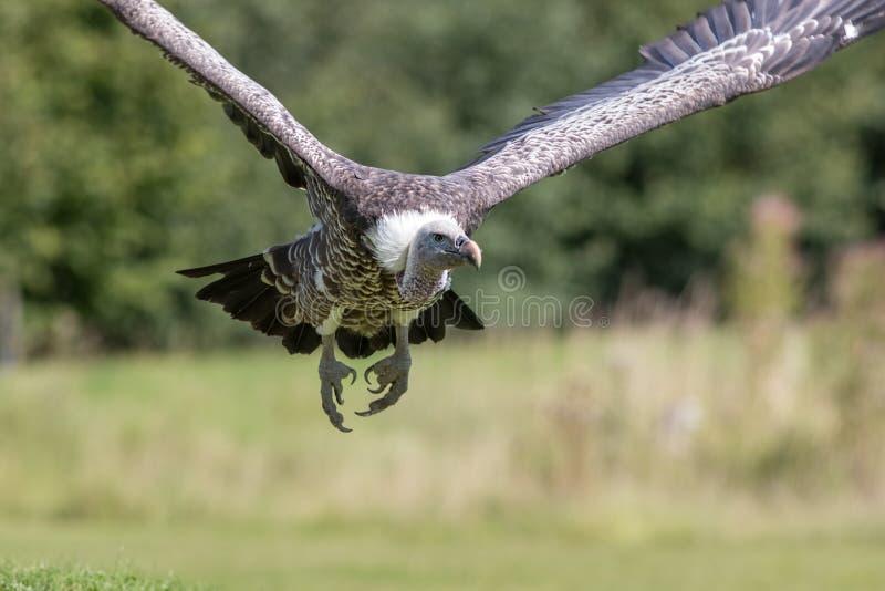 Ruppells gryfonu sępa latająca głowa dalej Zamyka up Afrykańskie szumowiny zdjęcia royalty free