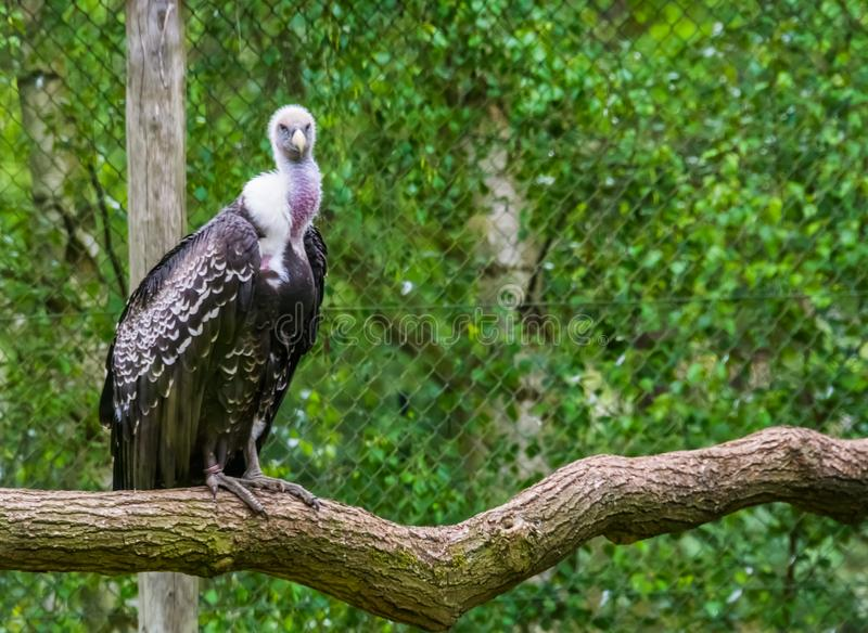 Ruppells sępa obsiadanie na gałąź i patrzeć w kamerze, krytycznie zagrażający śmieciarza ptasi specie od Afryka obraz royalty free
