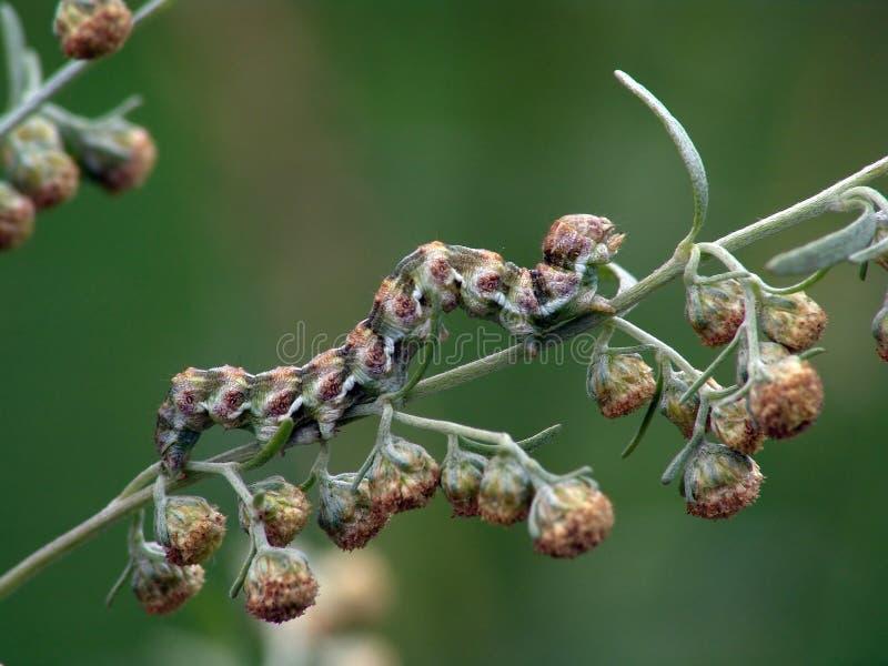 Rupsband van absinthii van vlinderCucullia. stock foto