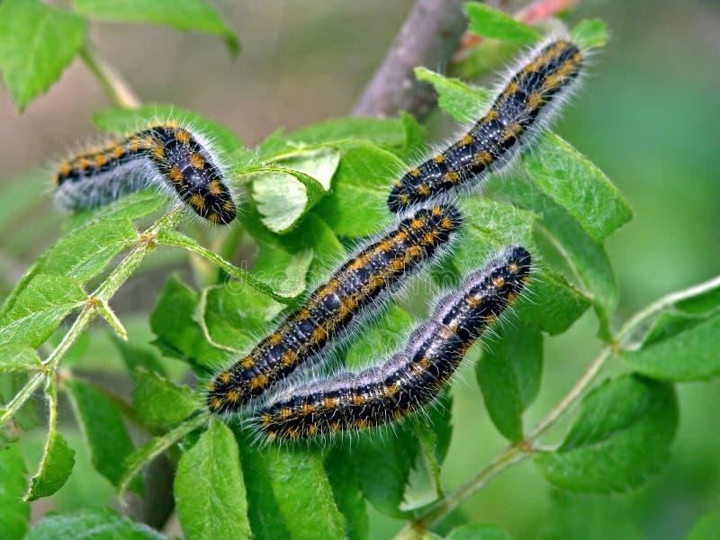 Rupsband van bucephala van vlinderPhalera. stock foto's