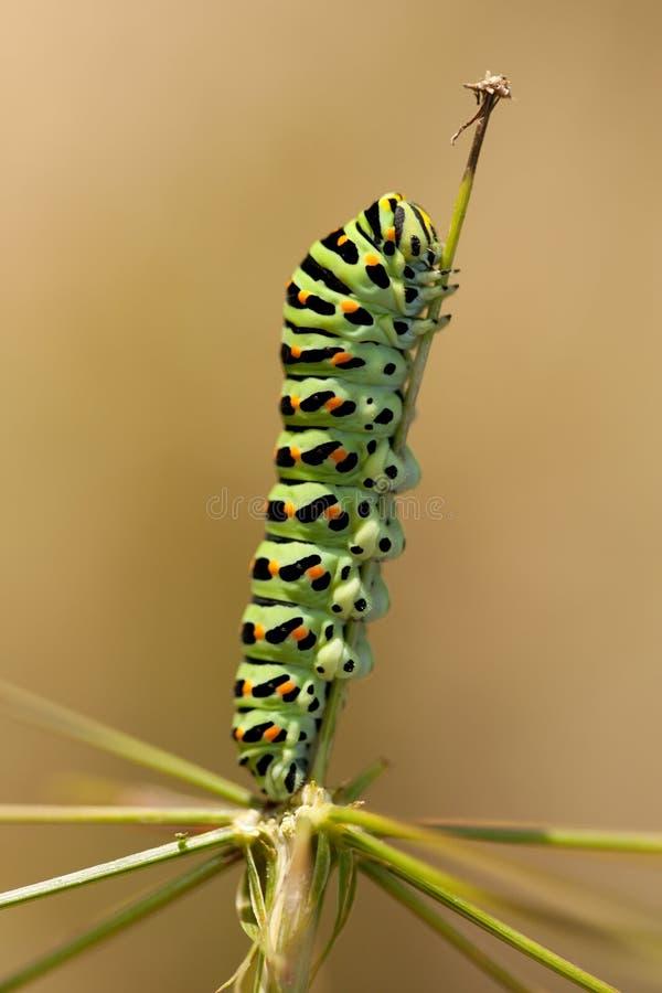 Rupsband van Papilio machaon stock foto's