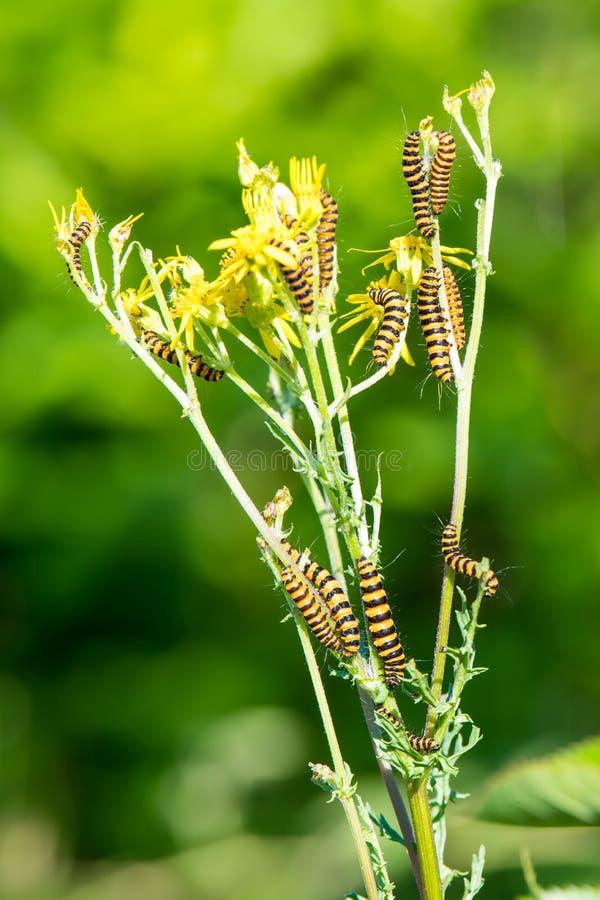 Rupsbanden van jacobsvlindermot, Tyria-jacobaeae, op gele ragwort royalty-vrije stock fotografie