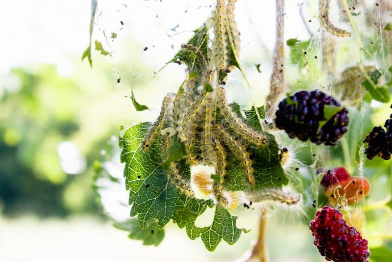 Rupsbandenvoer op moerbeiboombladeren Het insectongedierte verslindt de groene bladeren van de moerbeiboomboom royalty-vrije stock foto's