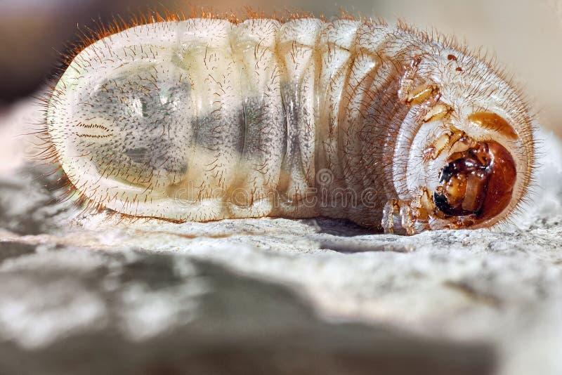 Rupswormen, de kever van de Kokosnotenrinoceros Larve ter plaatse royalty-vrije stock afbeeldingen