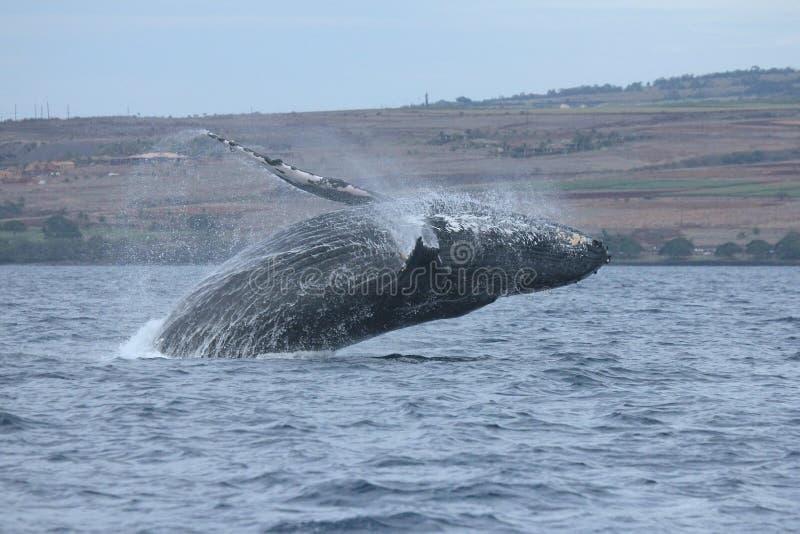 Ruptura da baleia de Humpback imagens de stock
