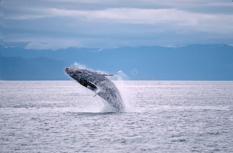 Ruptura da baleia de Humpback imagem de stock royalty free
