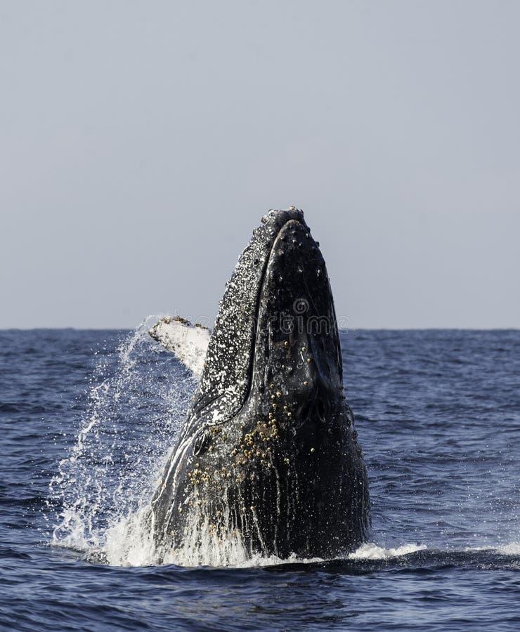 Ruptura da baleia de Humpback imagem de stock