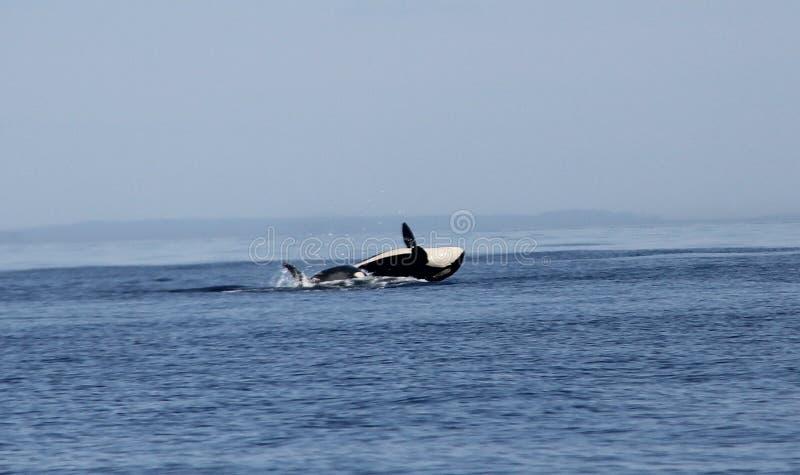 Ruptura transiente da baleia da orca de Biggs foto de stock