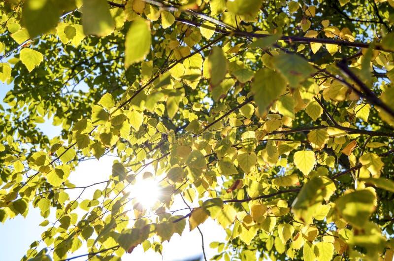 Rupturas da luz solar do verão através dos ramos ilustração stock