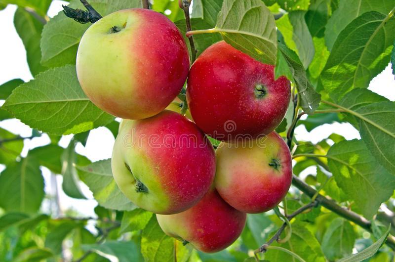 Rural apples on the tree. Present, non-staged photo from the orchard. Russia. Siberia stock photography