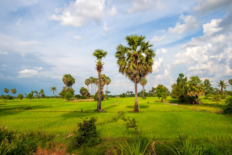 Rural Asian landscape with palm trees and rice fields royalty free stock photography