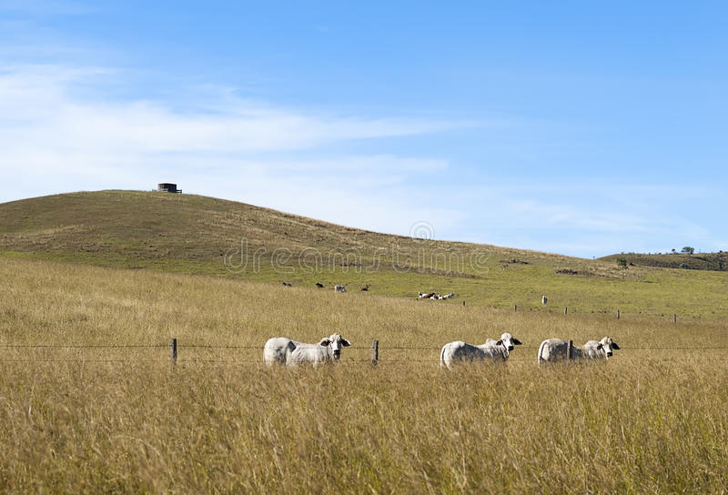 Rural Australian Landscape. With beef cattle on pasture royalty free stock photos