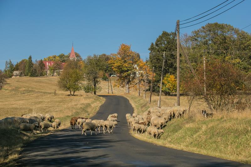 Rural autumn landscape and a herd of sheep crossing road stock photos