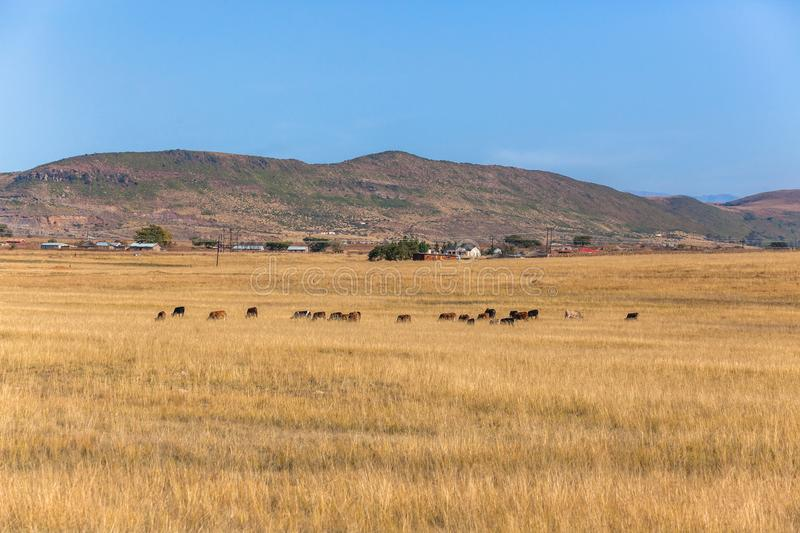 Rural Landscape Cattle Homes stock photography