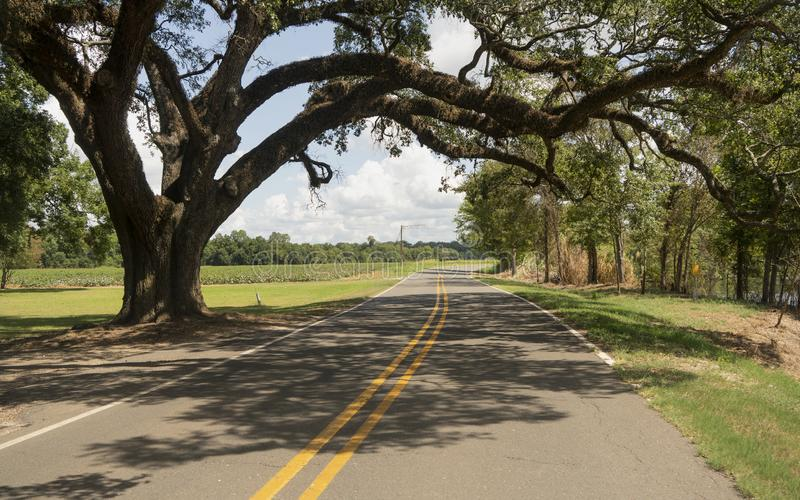 Rural Backroads Deep South Ancient Trees Louisiana USA. An ancient Oak Tree grows over the road left uncut in rural Louisiana USA stock images