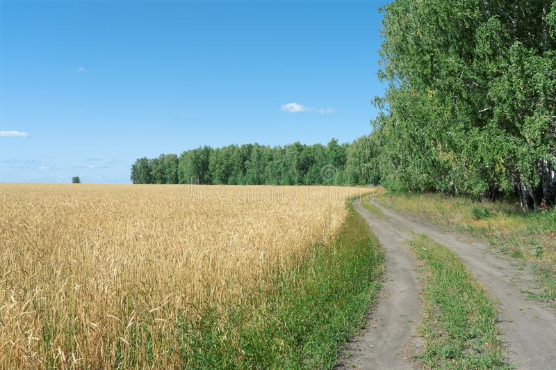 Rural road goes around a field of ripe wheat royalty free stock image