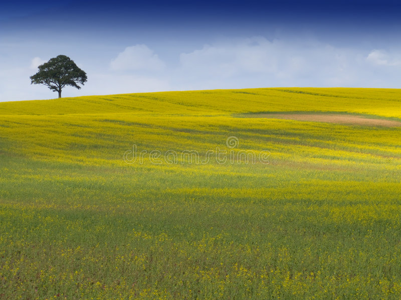 Rural English Landscape. Looking over a rural english landscape of yellow rapeseed, to a tree on the horizon, beneath a dramatic blue sky with fluffy white stock photography