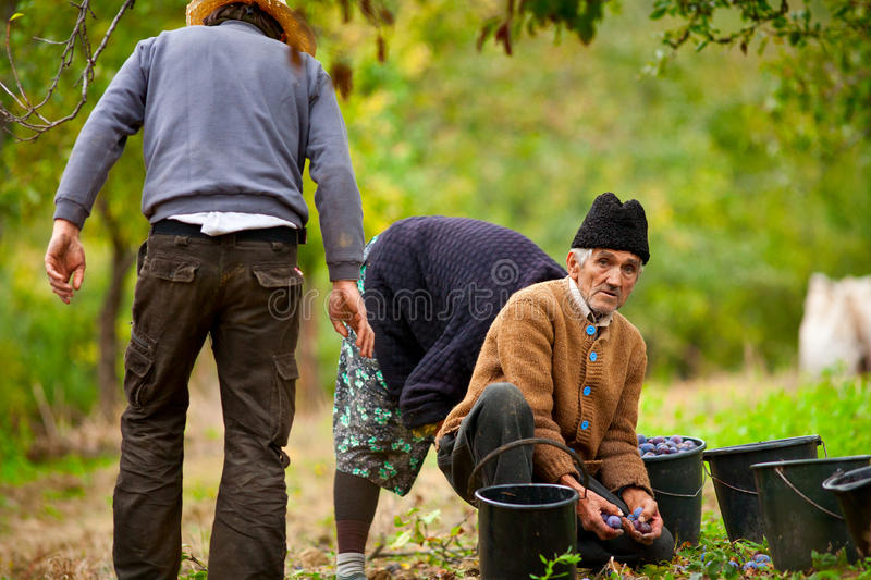 Download Rural Family Harvesting Plums Royalty Free Stock Photo - Image: 17265465