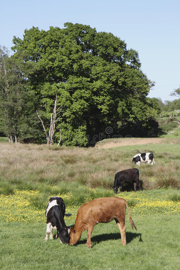 Rural Field With A Variety Cows Grazing On Grass Stock Photo