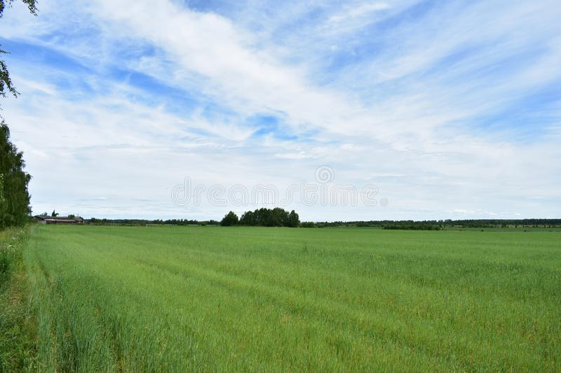 A rural, flat field of lush green grass sky clouds. Attracts tranquility, a kind of poetry of rural life, harmony with nature royalty free stock image
