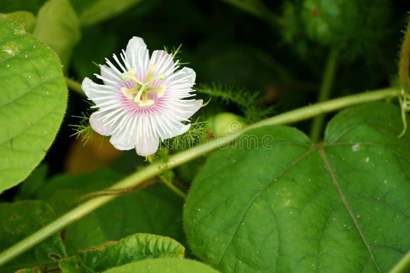 Passiflora foetida flower and green leaves in the summer morning. Rural flowers bloom on the field stock photo