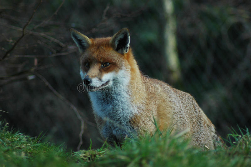 Download Red  Fox stock photo. Image of vixen, hunting, grass - 32844624