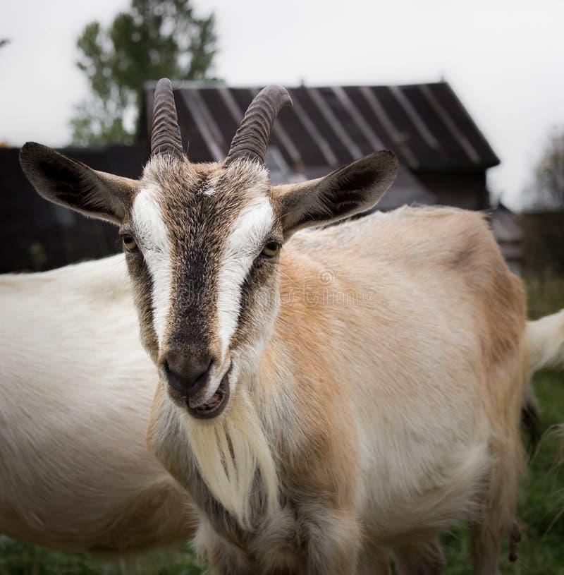 Rural goat stock photo