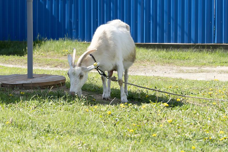 Rural goat with red spots grazing on a leash in the field. Green grass, pet goat eats and sniffs the grass. The rope keeps the stock images