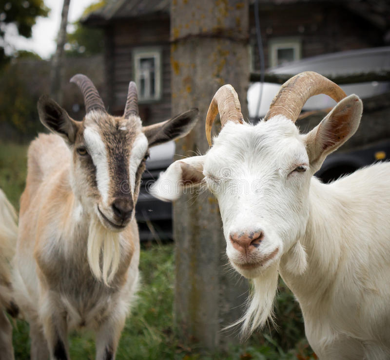 Rural goats stock photography