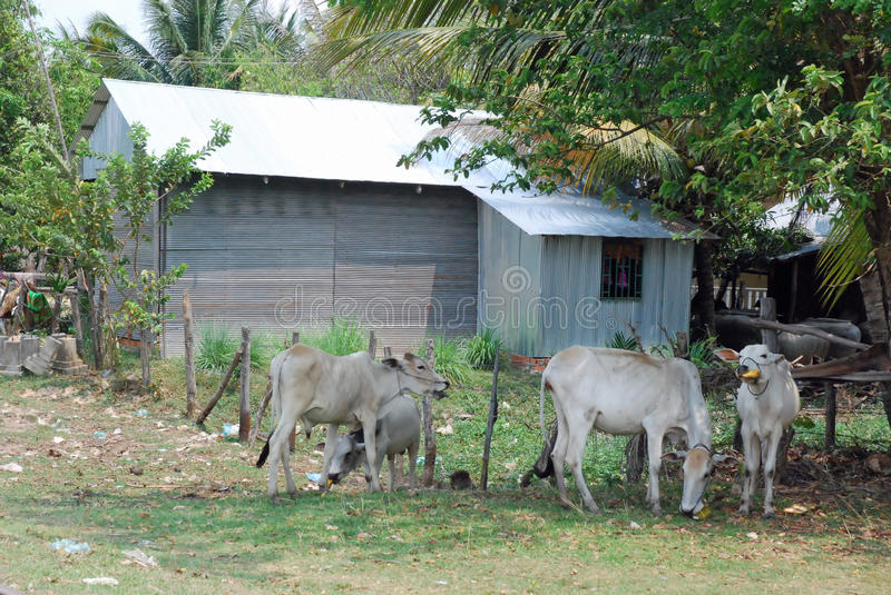 Rural house with corrugated iron - cows - Cambodia. Rural house of corrugated metal surrounded by thin cows and grassland - Cambodia royalty free stock photos