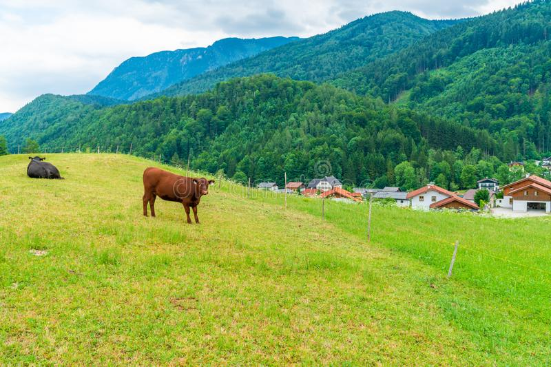 Rural landscape with cows on the meadow and Alpine peaks, Austria. Rural landscape with cows on the meadow and Alpine peaks and hills surrounding a small village stock photo