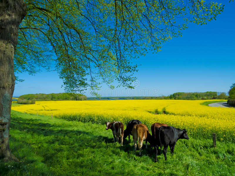 Rural landscape with cows in spring. Rural landscape with cows in front of blooming canola field royalty free stock image