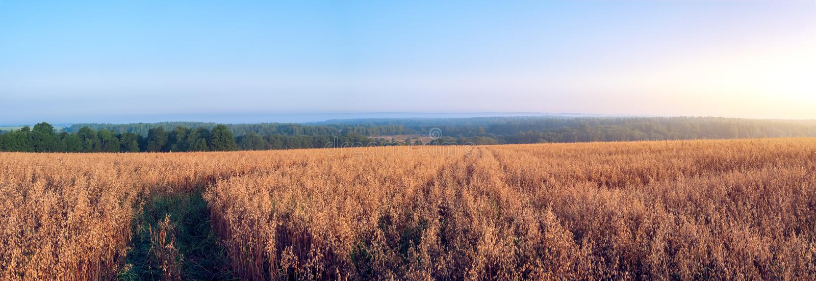 Rural landscape at dawn with oat fields stock photo