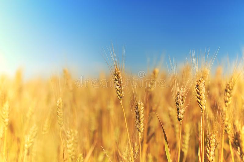 Rural landscape with a field of Golden wheat ears stretch to the blue clear sky matured on a warm summer day royalty free stock photos