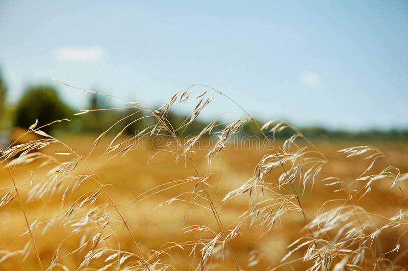 Rural landscape with a field of ripening wheat royalty free stock image