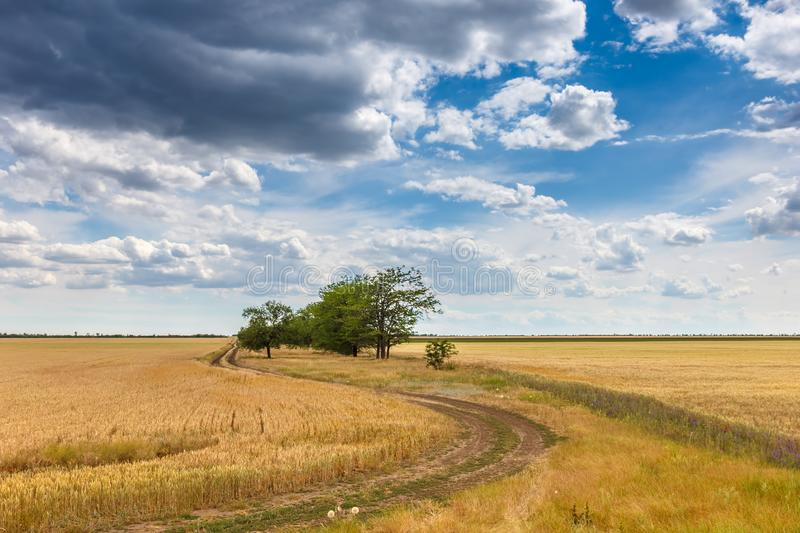 Rural landscape. Golden wheat field, road among the field along the small trees against the background of the cloudy sky stock photo