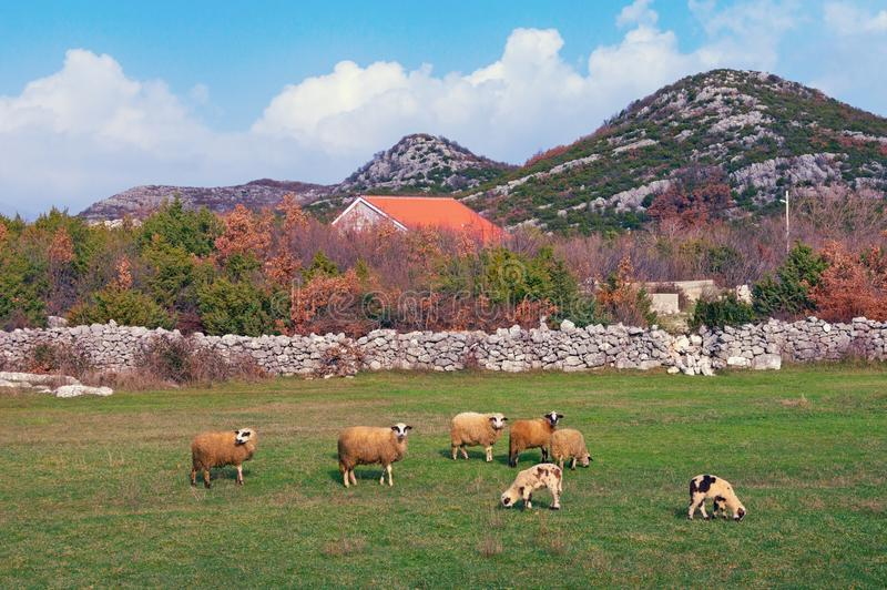 Rural landscape with grazing sheep. Bosnia and Herzegovina. Republika Srpska royalty free stock photography