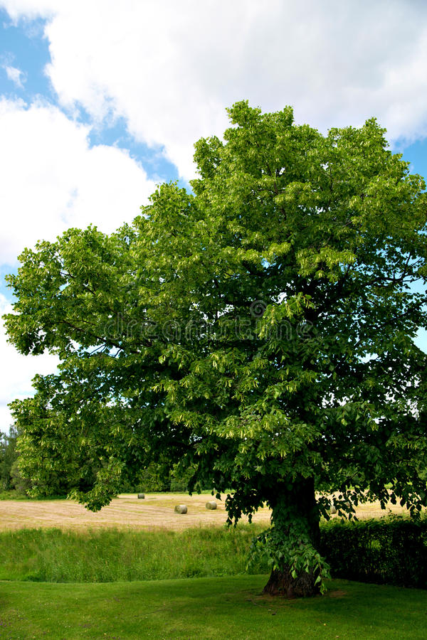Rural landscape with lime tree stock photography