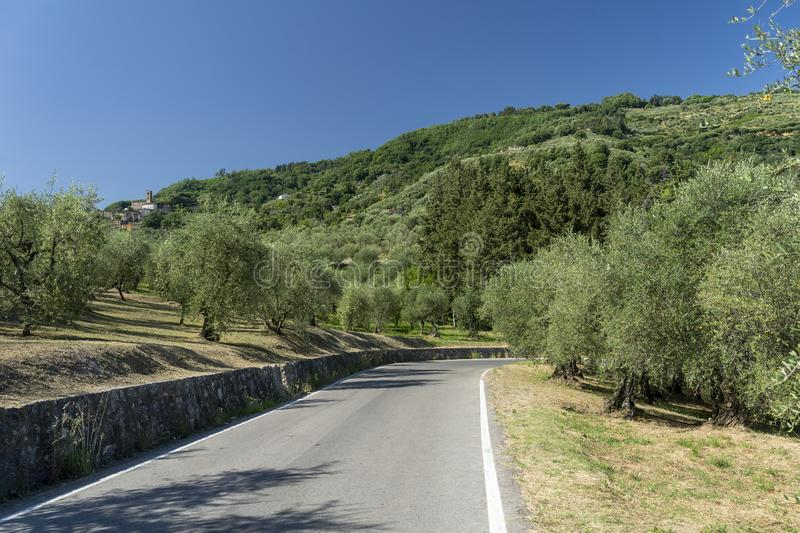 Rural landscape near Pescia, Tuscany. Rural landscape near Pescia and Borgo a Buggiano, Pistoia, Tuscany, Italy, at early spring with olive trees stock image