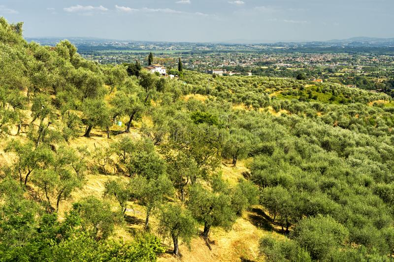 Rural landscape near Pescia, Tuscany. Rural landscape near Pescia and Uzzano, Pistoia, Tuscany, Italy, at early spring with olive trees royalty free stock image