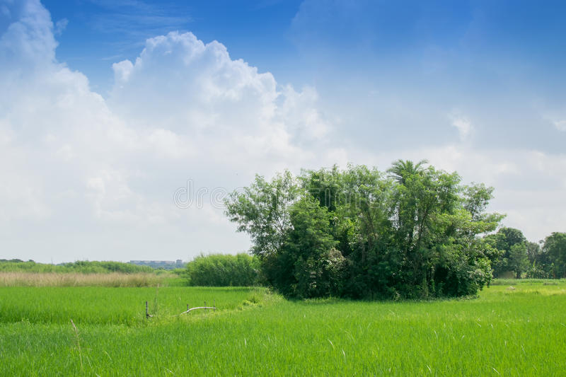 Rural landscape of paddy field. Beautiful rural landscape of Paddy field, blue sky in the background, Howrah, West Bengal, Indi royalty free stock photos