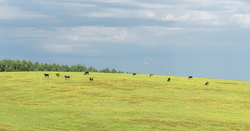 The pasture field and cattle herd 10. Rural landscape in the south of brazil. Dawn in the field. Cattle grazing on green grass. ranching farm in southern brazil stock photos