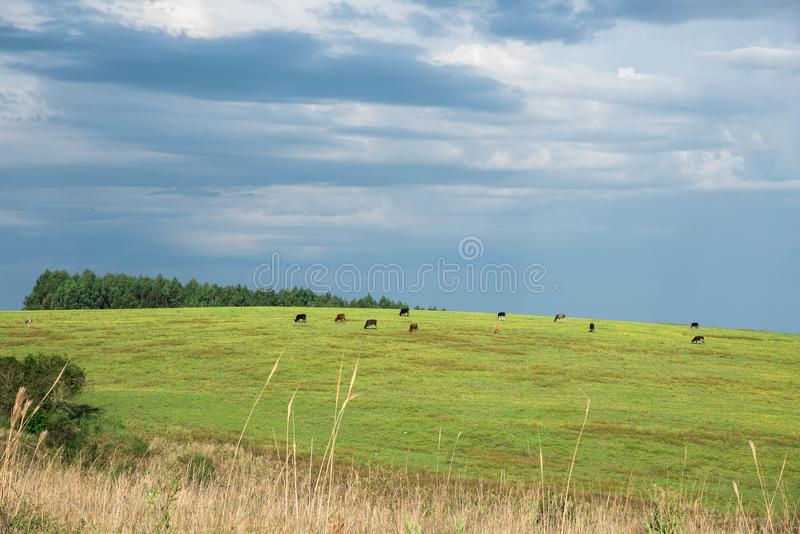 The pasture field and cattle herd 10. Rural landscape in the south of brazil. Dawn in the field. Cattle grazing on green grass. ranching farm in southern brazil stock image