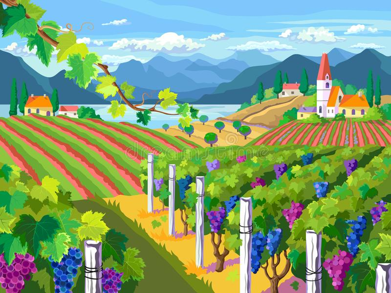 Rural landscape. Vineyard and grapes bunches. Rural landscape with vineyard, fields, mountain and sea panorama vector illustration