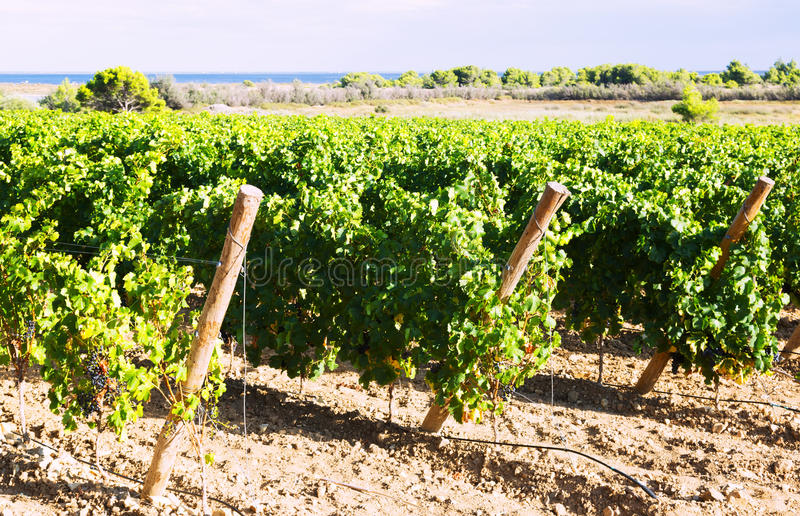 Rural landscape in vineyards plant stock photo