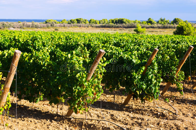 Rural landscape in vineyards plant royalty free stock photo