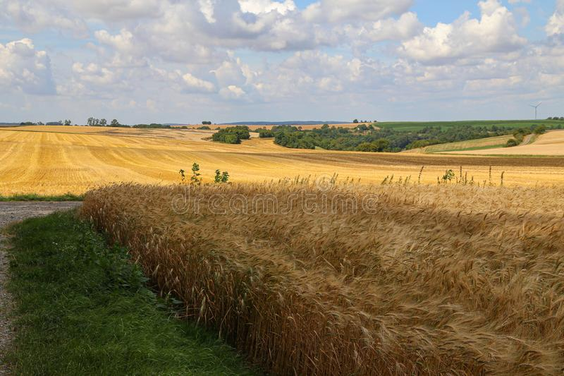 Rural landscape with yellow fields of mature wheat.  stock images