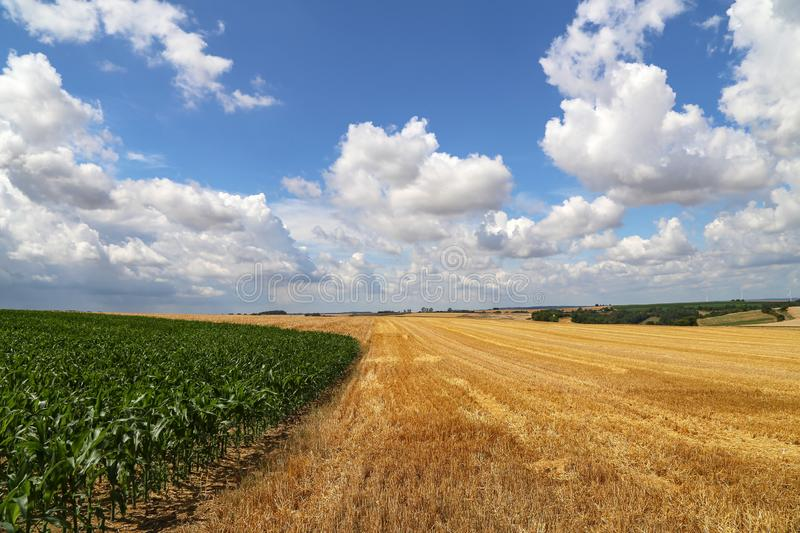Rural landscape with yellow fields of mature wheat.  royalty free stock photos
