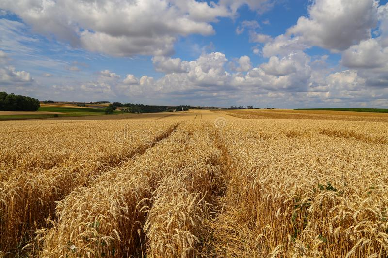 Rural landscape with yellow fields of mature wheat.  royalty free stock photography